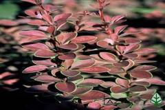 Bushes decorative