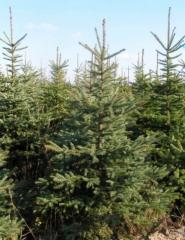 Christmass trees, natural