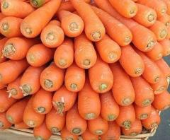 Carrot Early