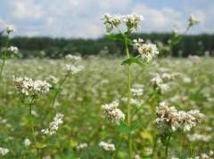 Common buckwheat