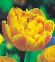 Bulbs, tulip