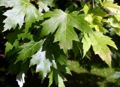 Klon srebrzysty - Acer saccharinum
