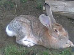 Mieszanka paszowa dla królików Królik