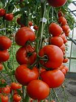 Pomidor szklarniowy