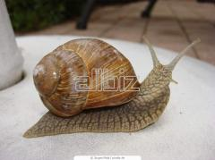 Snails, fresh