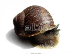 Frozen snails