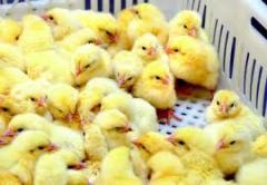 Jaja wylęgowe