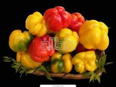 Papryka czerwona, zielona, żółta