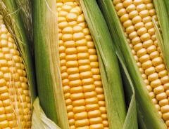 Nasiona kukurydzy