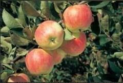 Jabłoń PIROS; drzewko jabłoni letnia odmiana