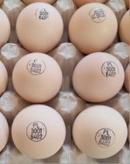 Broiler hatching eggs