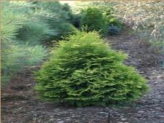 Krzewy zielone ozdobne