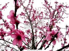 Almond seedlings