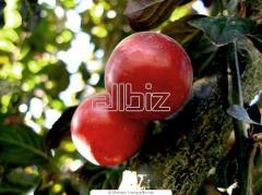 Saplings plum