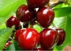 Cuttings of cherries