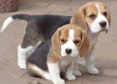 Beagle- szczenięta