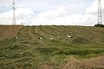 Koniczyna łąkowa