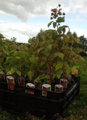 Saplings, raspberry bush