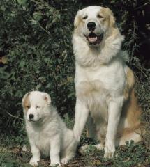Σκύλος της Κεντρικής Ασίας Shepherd Dog