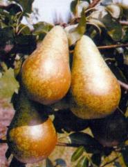 Sadzonki gruszy