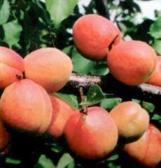 Apricot seedlings