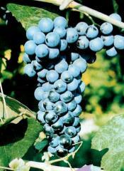 Sadzonki winorośli