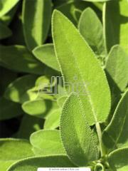 Clary (Salvia) leaves