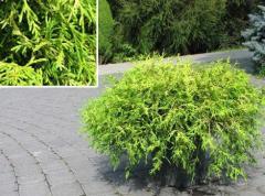 Seedlings of decorative trees