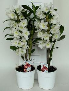 Kwiaty doniczkowe Storczyk