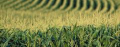 Nasiona kukurydzy firmy Syngenta Seeds