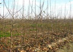 Sadzonki drzew i krzewów owocowych - jabłonie,