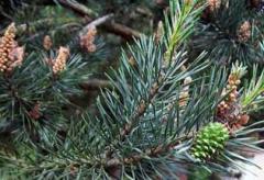 Pine seedlings