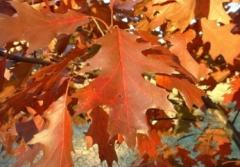 Red oak saplings