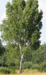 Birch seedlings