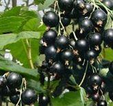 Sadzonki porzeczki czarnej różne odmiany