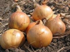 Nasiona cebuli.