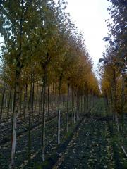Betula albosinensis 'Fascination' 12-14