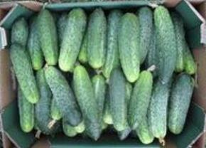 Nasiona ogórków  odmiany Pasanovy