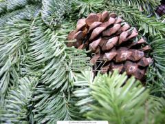 Saplings of spruce