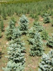 Picea pungens glauca - Świerk srebrny