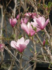 Magnolia - rózne odmiany