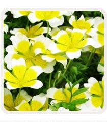 Nasiona cytrynowego kwiatu