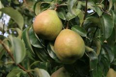 Owoce - gruszki