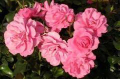 Roses patio