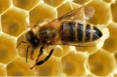 Matki pszczele Aga
