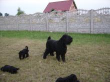 Szczenięta czarnych terierów rosyjskich