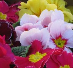 Seedlings of flower bed flowers