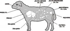 Sheep casings