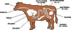 Beef intestines