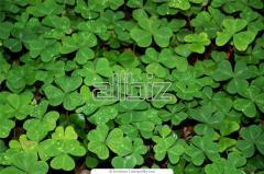 Nasiona koniczyny